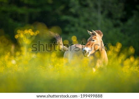 Przewalski horse grazing on a lovely meadow #199499888