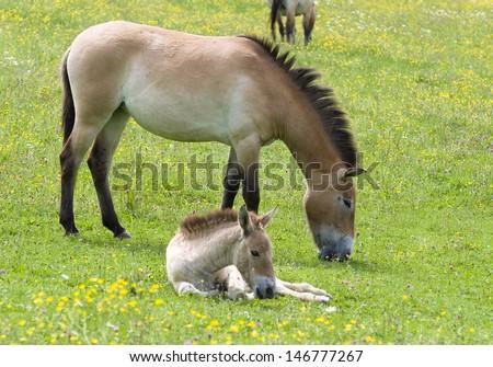 Przewalski horse portrait (Equus ferus przewalskii) #146777267