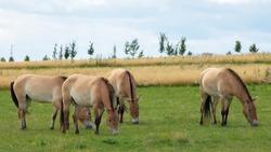 Przewalski's horse ( Equus przewalski ) also called the takhi, lives in Dívčí Castley in Prague.