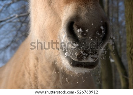 Przewalski's horse nose and mouth  #526768912