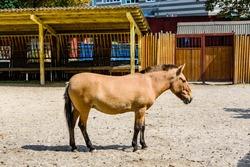 Przewalski wild horse (Equus przewalskii or Equus ferus przewalskii) or mongolian wild horse in paddock. Endangered species