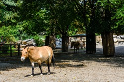 Przewalski wild horses (Equus przewalskii or Equus ferus przewalskii) or mongolian wild horses in paddock. Endangered species