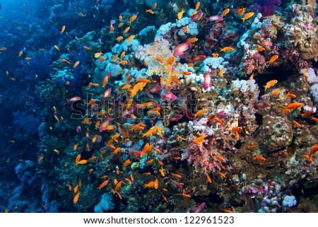 Pseudanthias taeniatus of Red Sea...