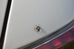 Pseudicius is a genus of the jumping spiders. Family salticidae order Araneae Arthropoda Arachnids sitting on a car