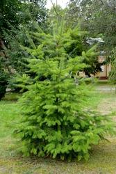 Pseudotsuga menziesii (Mirb.) Franco). Young tree