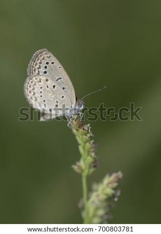 Pseudozizeeria maha, the pale grass blue, is a small butterfly found in Asia that belongs to the lycaenids or blues family. #700803781