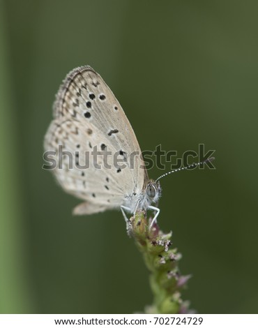 Pseudozizeeria maha, the pale grass blue, is a small butterfly found in Asia that belongs to the lycaenids or blues family. #702724729