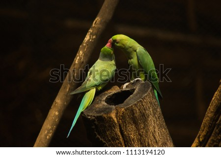 Stock Photo Psittacula krameri or Rose ringed Parakeet kissing each other, male and female cuddling each other on a tree branch at zoo