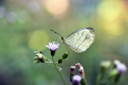 Psyche Butterfly are sucking honey from the wildflowers (Cyanthillium cinereum)with blurry background