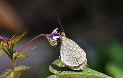 Psyche butterfly on the pink wild flower with blurred background