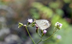 psyche butterfly on the wildflowers (Cyanthillium cinereum) with blurred plants background