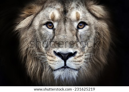 Psychedelic grunge style closeup portrait of an Asian lion, isolated on black background. King of beasts. Wild beauty of the biggest cat. The most dangerous and mighty predator of the world.