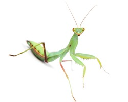 psychedelic mantis isolated on white background