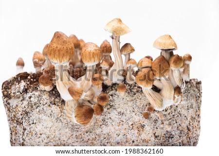 psychedelic mushroom psilocybe cubensis pf tek Stok fotoğraf ©