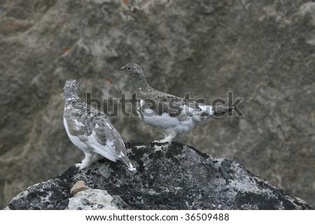 Ptarmigan (Lagopus Mutus) on a rock near Qoornoq, Greenland