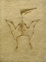 Pterodactyl Fossil. Pterodactilus Spectabilis.