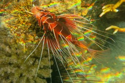 Pterois radiata in shallow water lit by sun rays that create color shades in the Red Sea. Clearfin lionfish Tailbar lionfish, radiata lionfish, fireworks fish or radial firefish with venomous spines.