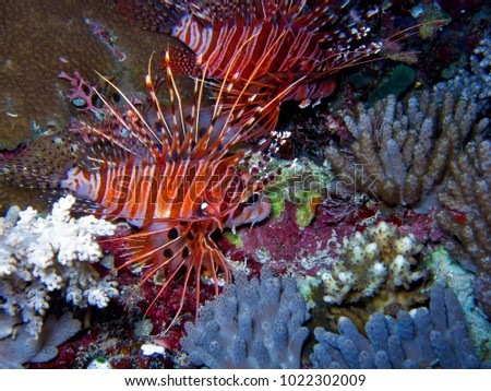 Pterois volitans known as lionfish, is a genus of venomous marine fish found mostly in the Indo-Pacific. Pterois is characterized by conspicuous warning coloration with red, white, creamy, or black  #1022302009