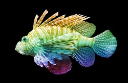 Pterois volitans, Lionfish - Isolated on black - Unique rainbow