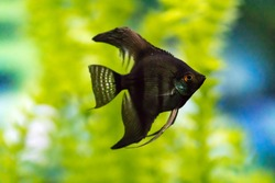 Pterophyllum scalare,angelfish or freshwater angelfish