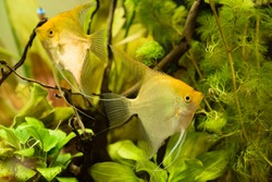 Pterophyllum Scalare in aqarium water, yellow angelfish