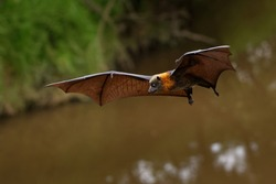 Pteropus poliocephalus - Gray-headed Flying Fox, Fruit bat from Australia hang down on the branch and fly away from day site.