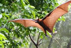 Pteropus vampyrus (large flying fox) in full flight