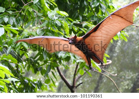 Pteropus vampyrus (large flying fox) in full flight - stock photo