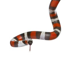 Pueblan milk snake or Campbell's milk snake, Lampropeltis triangulum campbelli, in front of white background