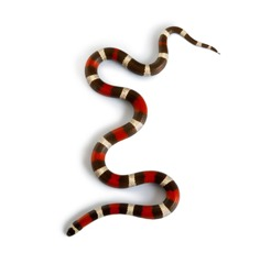 Pueblan milk snake or Campbell's milk snake, Lampropeltis triangulum campbelli, slithering against white background