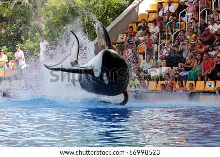 PUERTO DE LA CRUZ, TENERIFE - AUGUST 31: New Orca Ocean exhibit has helped the Loro Parque become Tenerife's second most popular attraction on August 31, 2011 in Puerto De La Cruz, Tenerife.