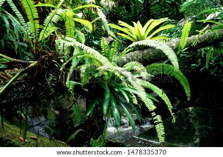 Puerto Rico, El Yunque National Forest, bromeliads and ferns on fallen log across stream, tropical rainforest