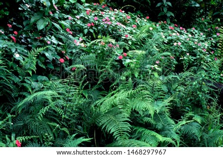 Puerto Rico, El Yunque National Forest, impatiens and ferns, tropical rainforest
