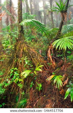 Puerto Rico, El Yunque National Forest, Sierra palms, bromeliads and mist, tropical rainforest
