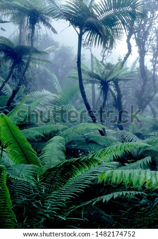 Puerto Rico, El Yunque National Forest, tree ferns and mist, tropical rainforest