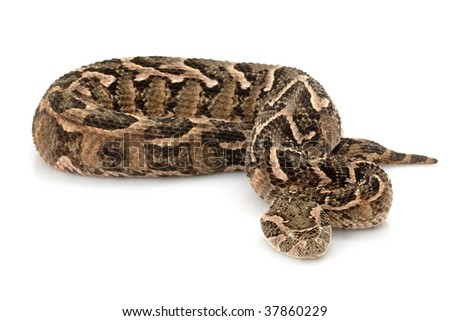 Puff adder (Bitis arietans) isolated on white background
