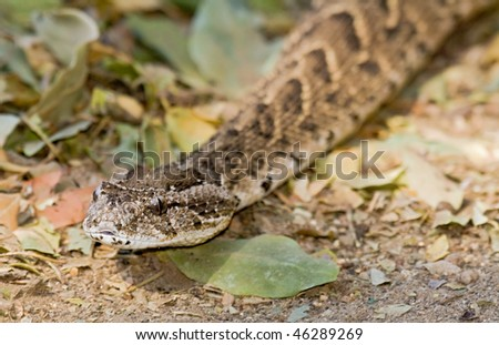 Puff adder (Bitis arietans) slithering along a bed of leaves in the Kruger Park, Africa.