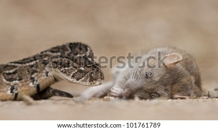 Puff Adder (Bitis arietans) snake with its prey, a brown rat, South Africa
