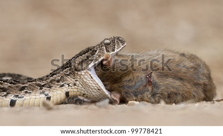 Puff Adder snake (Bitis arietans) swallowing a brown rat, South Africa