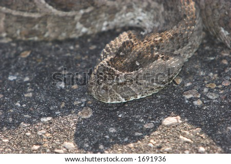 Puff adder, very venimous snake