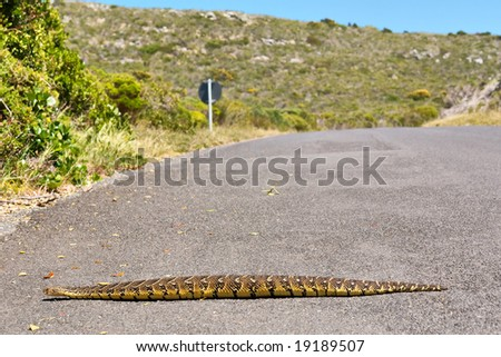 Puff adder viper (Bitis arietans) crossing road. Shot in the Cape of Good Hope and Cape Point Nature Reserve, Table Mountain National Park, near Cape Town, South Africa.