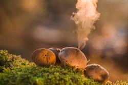 Puffball fungus (Lycoperdon perlatum) spores reproduction smoke mushroom