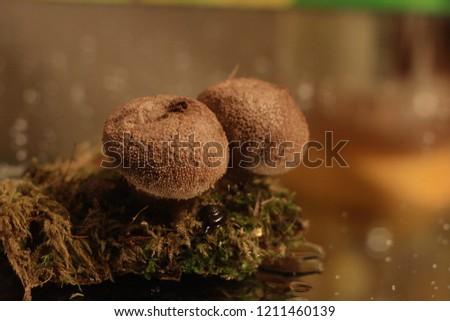 Puffball mushrooms and moss #1211460139