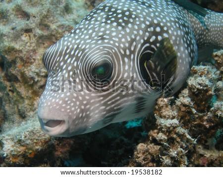 Puffer fish - stock photo