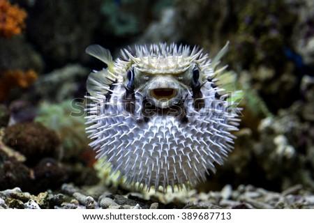 Puffer Fish - Shutterstock ID 389687713