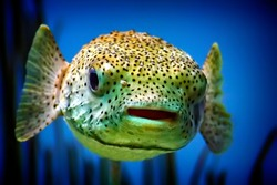 Puffer Fish close up