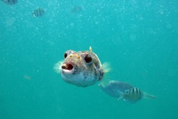 Puffer Fish Eating