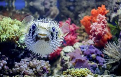 Puffer fish.  Saltwater fish.