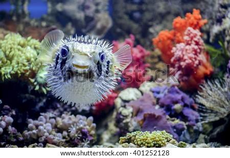 Puffer fish.  Saltwater fish.  - Shutterstock ID 401252128