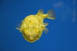 Puffer Fish (Tetraodontidae)